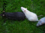 Un-Amour-De-Rat