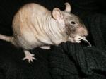Ratous nus