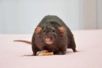 rats heureux