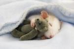 rats-en-folies