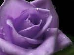Lavender@