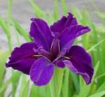 petit'iris