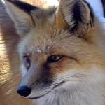Fox ^^