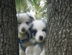 Blues y Lassie
