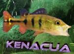 kenacua