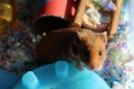 Hamster Ailments and Injuries 9-7