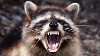 Evil-Raccoon