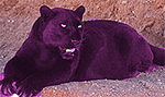 Purple_Panther