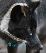 Alcyoneus