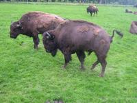 Buffalo's Tribe