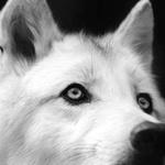 Pawolf