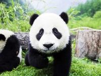 pjr.panda