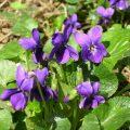 Violette36
