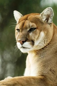 Griffe de Puma