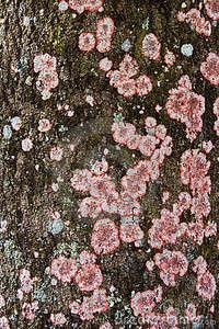 Écorce de Lichen