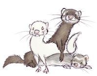 walkingwithferrets