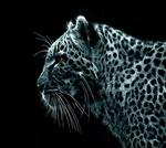 LeopardPoutrelle