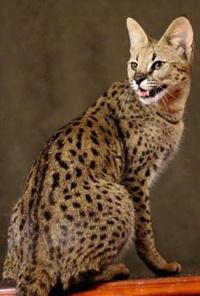 Plume de Leopard