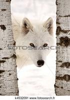 Loup blanc (Le président)