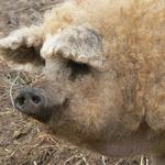 Fluffy Lard