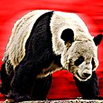 Camarada Panda