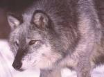 Hiperborean_Wolf