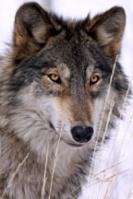 lobo hiperboreo