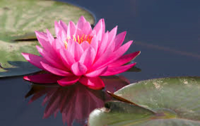 Sophia Lotus