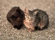 Mèo Âu