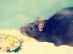 my-little-rat