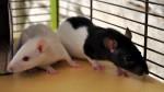 ratoutornade