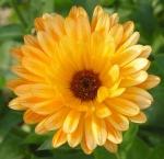 solflower