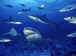 cá mập OCEAN