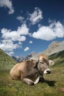 The Moo Moo Cow