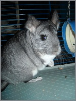 Titoune-chinchilla