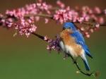 bluebirdy