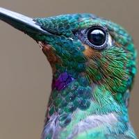 Colibri-vert