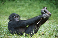 Bonoboenfuri