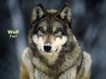 DK_Wolf fact