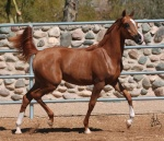 Yearling - Flamme Vive