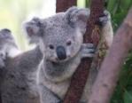Alejandro koala
