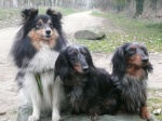 Lovely Teckels Shelties