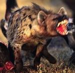 Scarred_Hyena