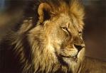 lioncrete