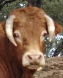 Vaca 1475