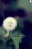 Dandelionpooh