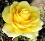 mawar_hijau