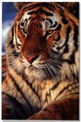 Sky Tiger (RO)