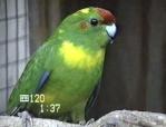 Kiwi-le-kakariki