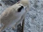 Породные ветки северных охотничьих и ездовых собак 199-77